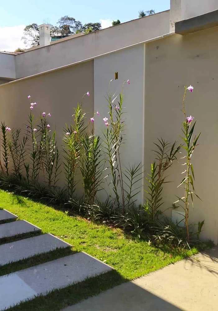 A orquídea bambu ama o sol! Junto dele ela se desenvolve maravilhosamente