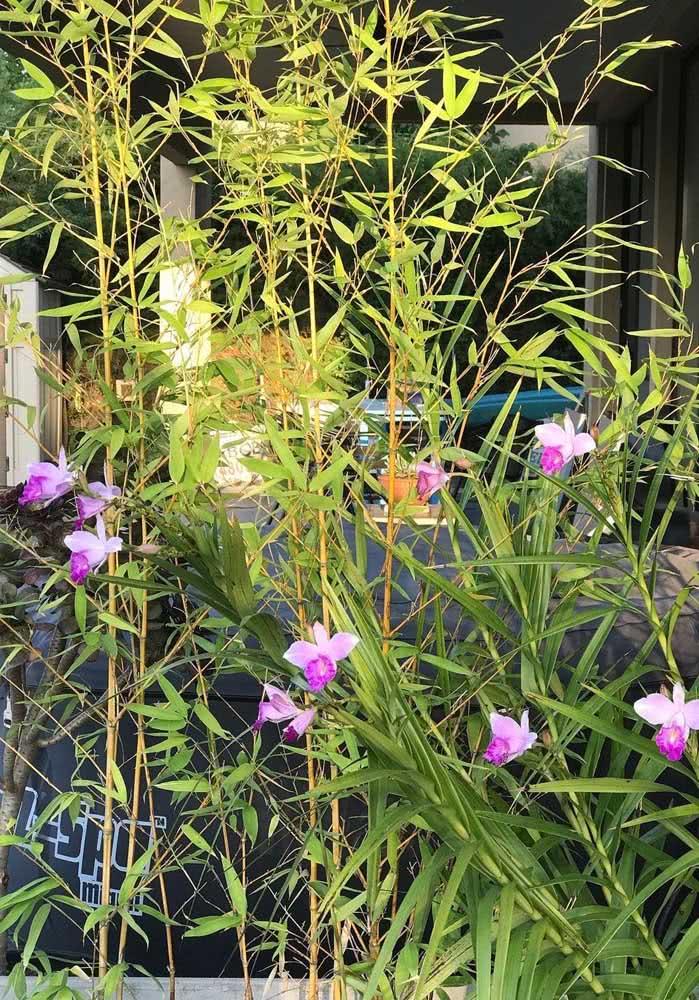 A orquídea bambu também funciona para aqueles casos onde a intenção é esconder ou camuflar ambientes