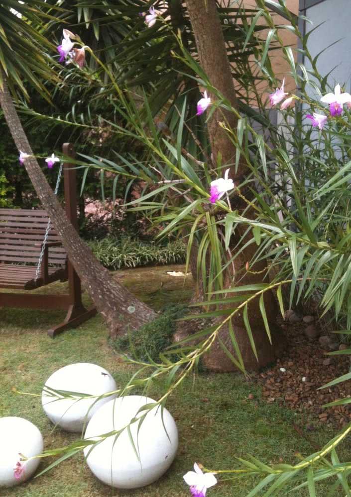 Orquídeas bambu ficam lindas em jardins de estilo tropical
