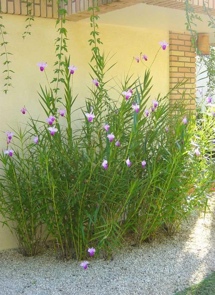 E se a intenção for criar um jardim de orquídeas bambu sempre plante várias mudas juntas