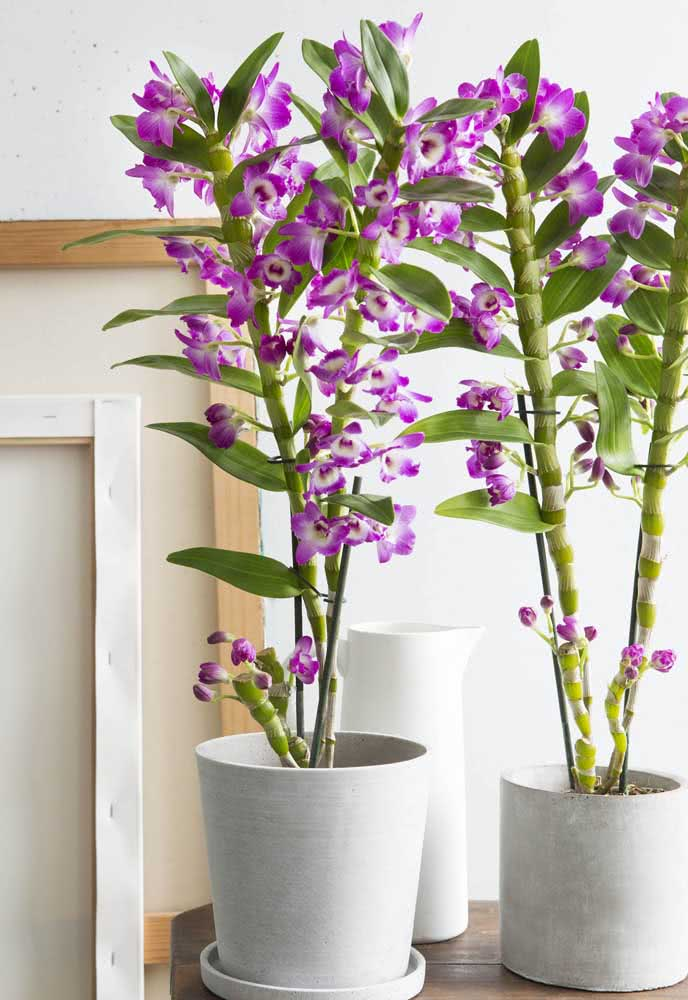 Orquídea bambu no vaso: as flores podem variar entre branco, amarelo e lilás