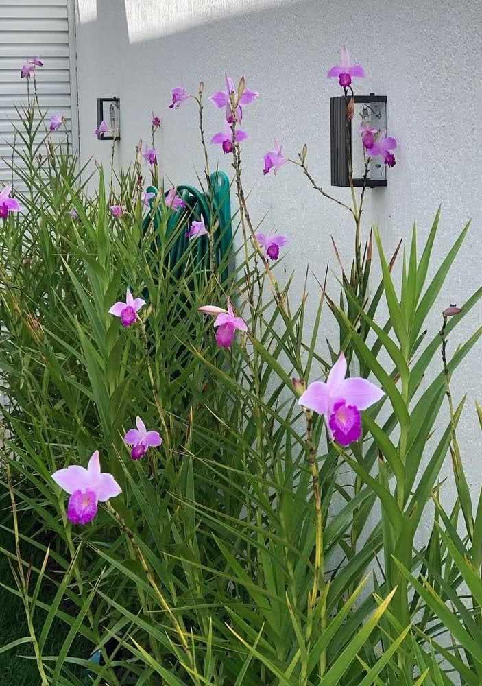 Repare como as folhas e caule da orquídea bambu se assemelham a um bambu verdadeiro