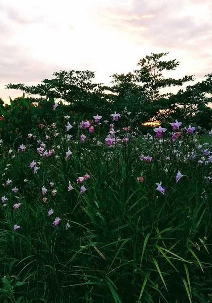 A orquídea bambu pode ser usada para criar maciços em projetos paisagísticos
