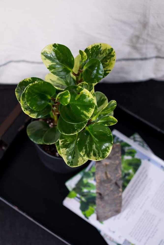 As folhas rajadas da peperômia são um charme a parte