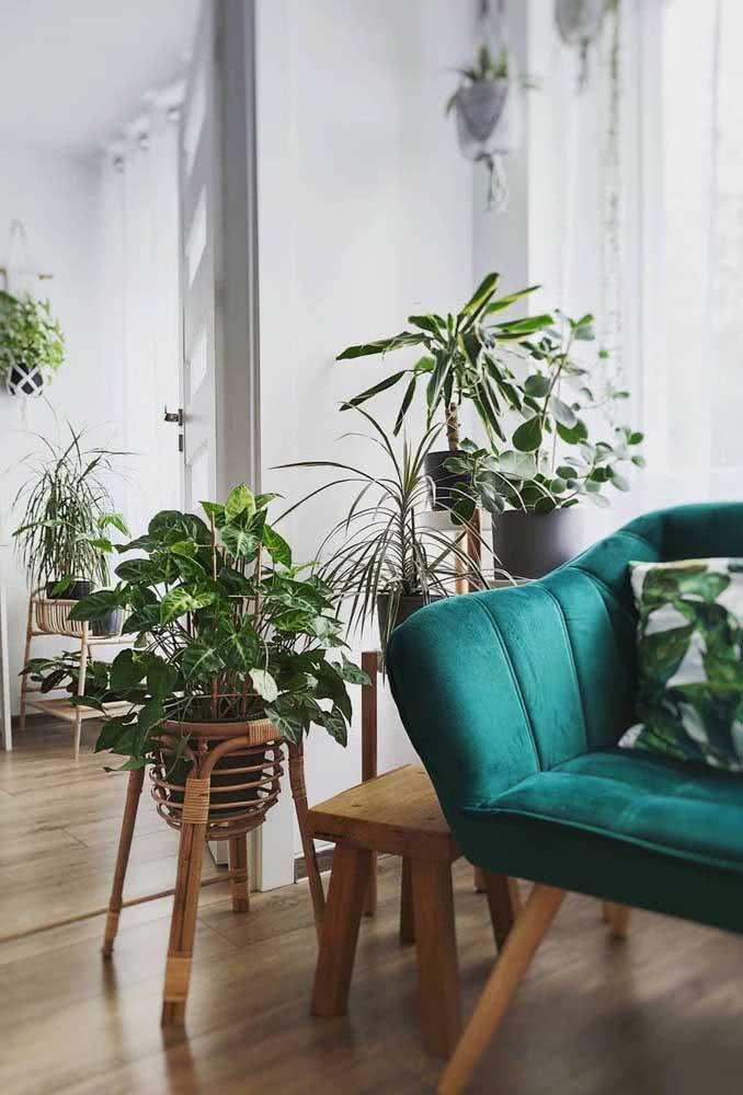 Um vaso de clúsia para a mini urban jungle na sala de estar. Para compor o conjunto, escolha outras espécies de folhagens