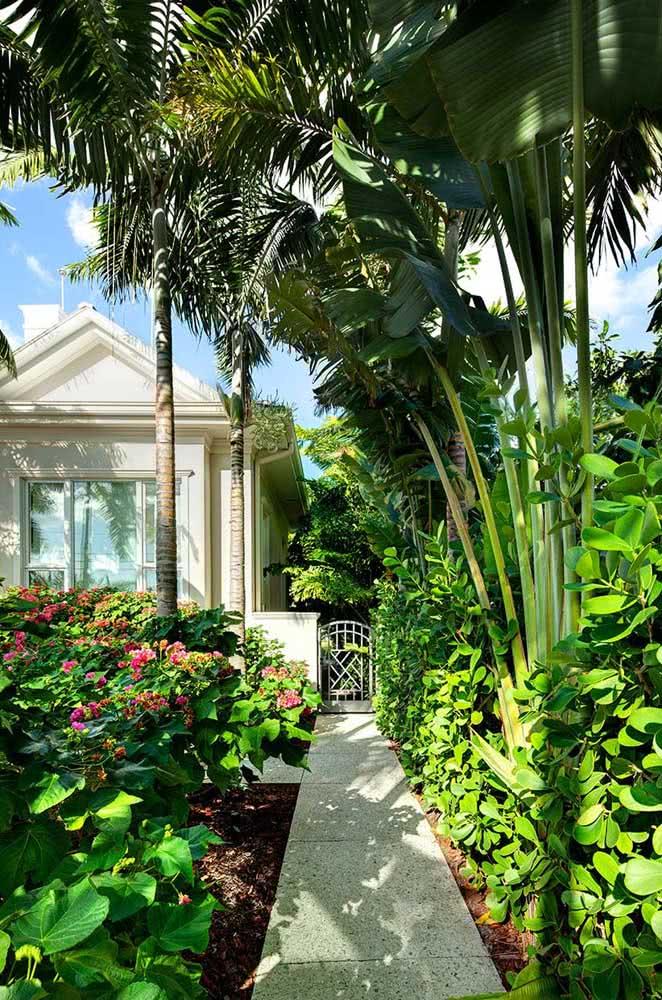 Clúsia no jardim tropical. Aqui, a planta forma um maciço ao lado de palmeiras e bananeiras ornamentais