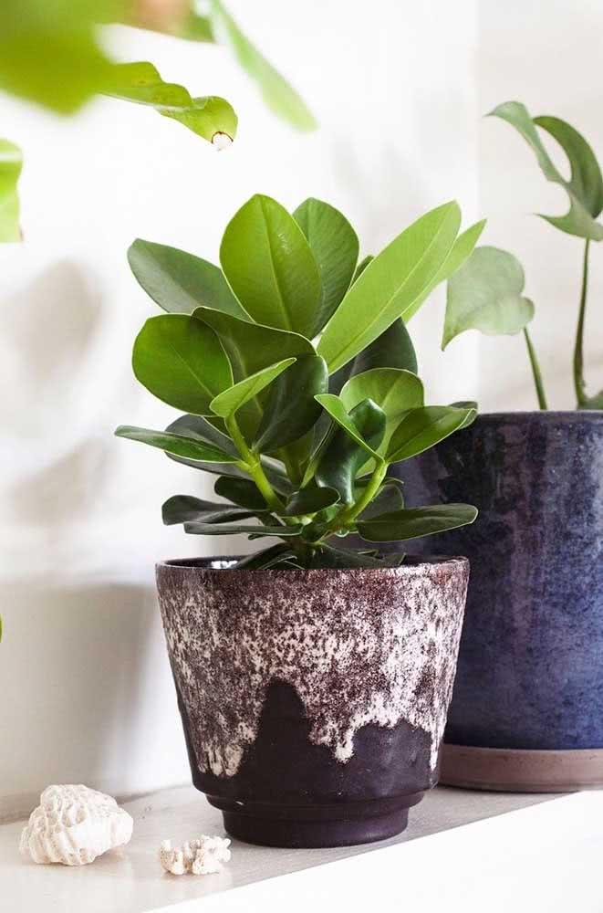 Versatil, a clúsia pode ser plantada em vasos e canteiros, sob o sol ou a meia sombra