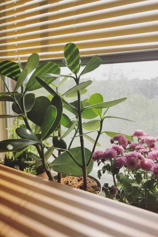 Clúsia na janela: sol e luz na medida certa