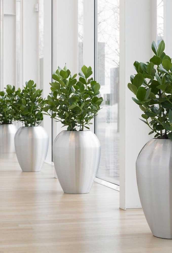 E o que acha de vasos prateados para conferir sofisticação ao paisagismo interno com clúsias?