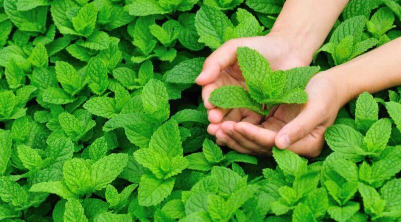 Como plantar hortelã: confira diferentes tutoriais e passo a passo para você seguir