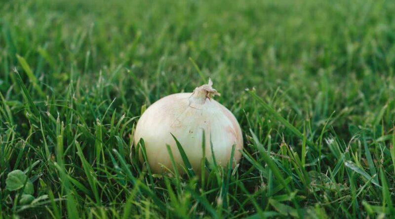Como plantar cebola: conheça dicas essenciais e passo a passo para você seguir