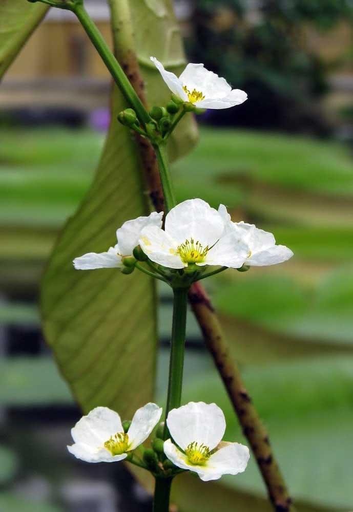 Chapéu de couro (Echinodorus grandiflorus)