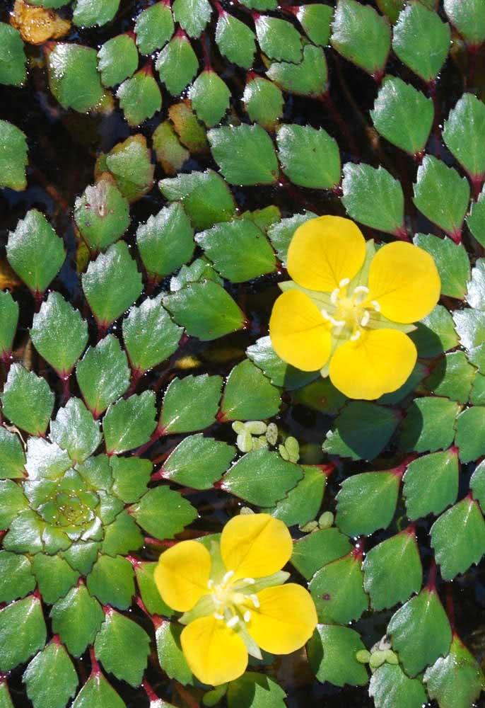 Planta mosaico (Ludwigia sedioides)