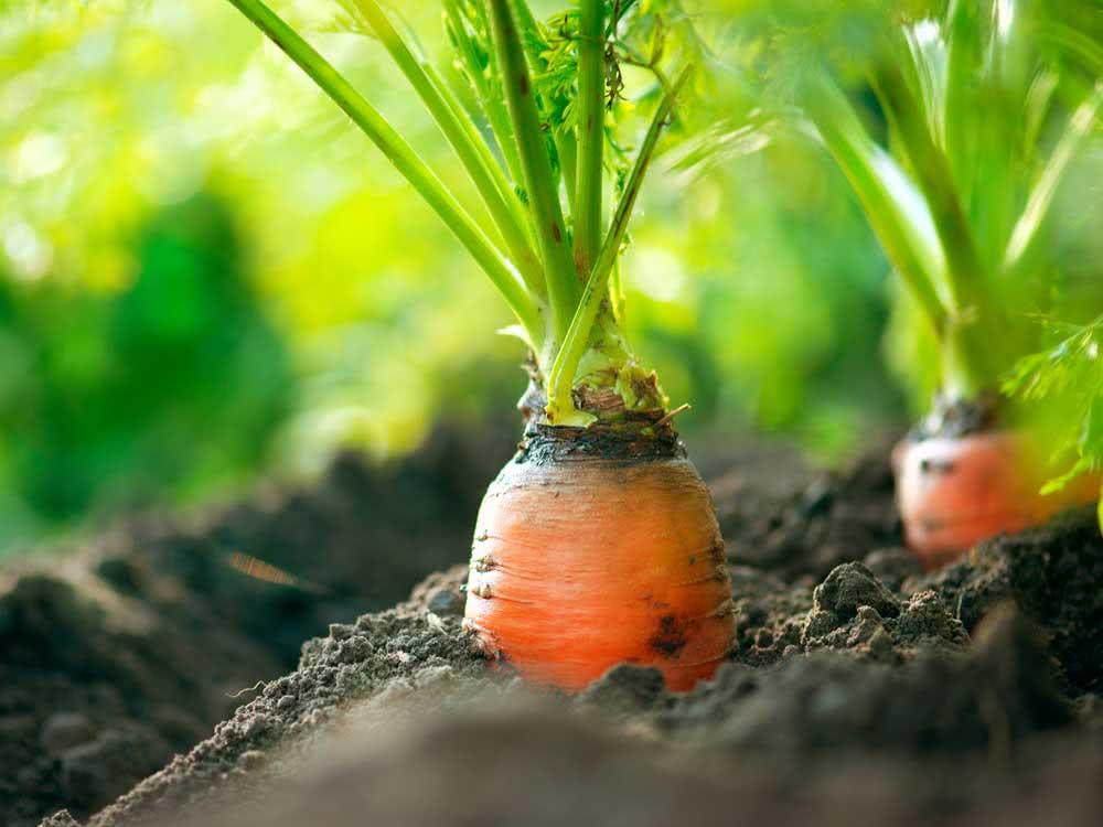 Como plantar cenoura com sementes