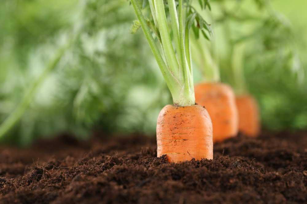 Como plantar cenoura em garrafa pet