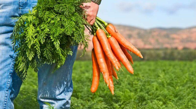 Como plantar cenoura: conheça diferentes formas e dicas essenciais para começar