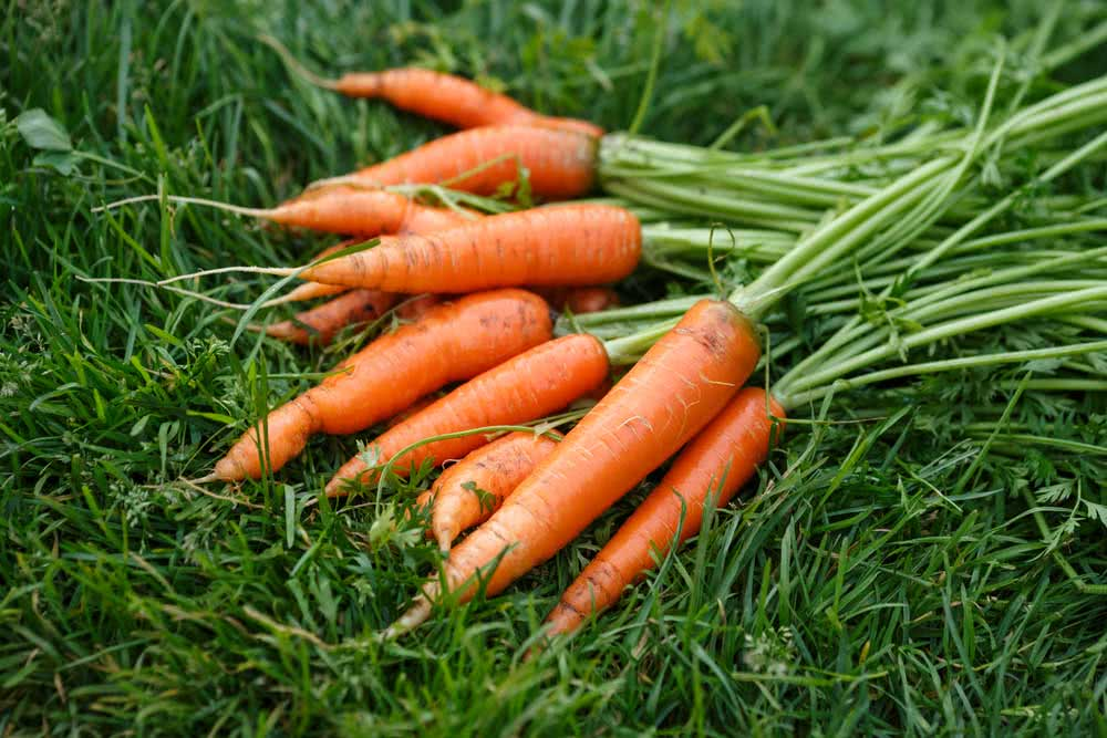 Como plantar cenoura com o talo