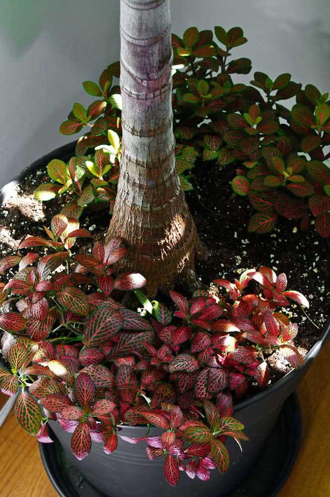 Fitônias aos pés de outras plantas. Ela é perfeita para fazer forração de vasos