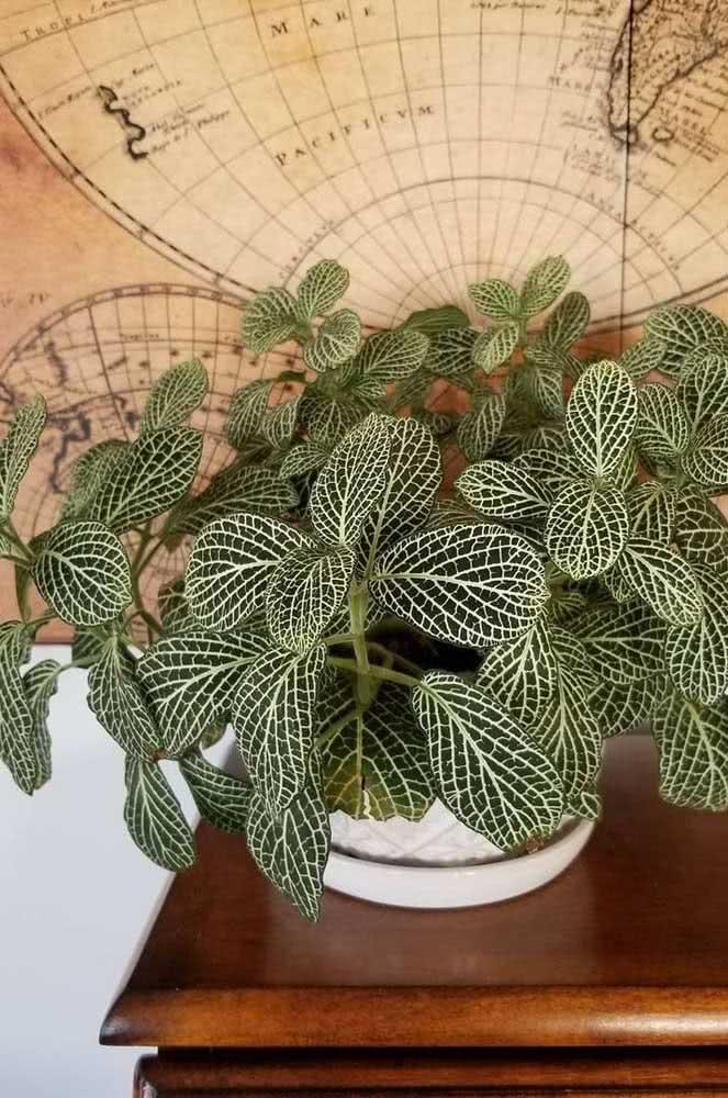 Entende agora o porquê da fitônia também ser conhecida como planta mosaico?