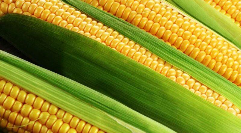 Como plantar milho: conheça 6 diferentes formas para você cultivar