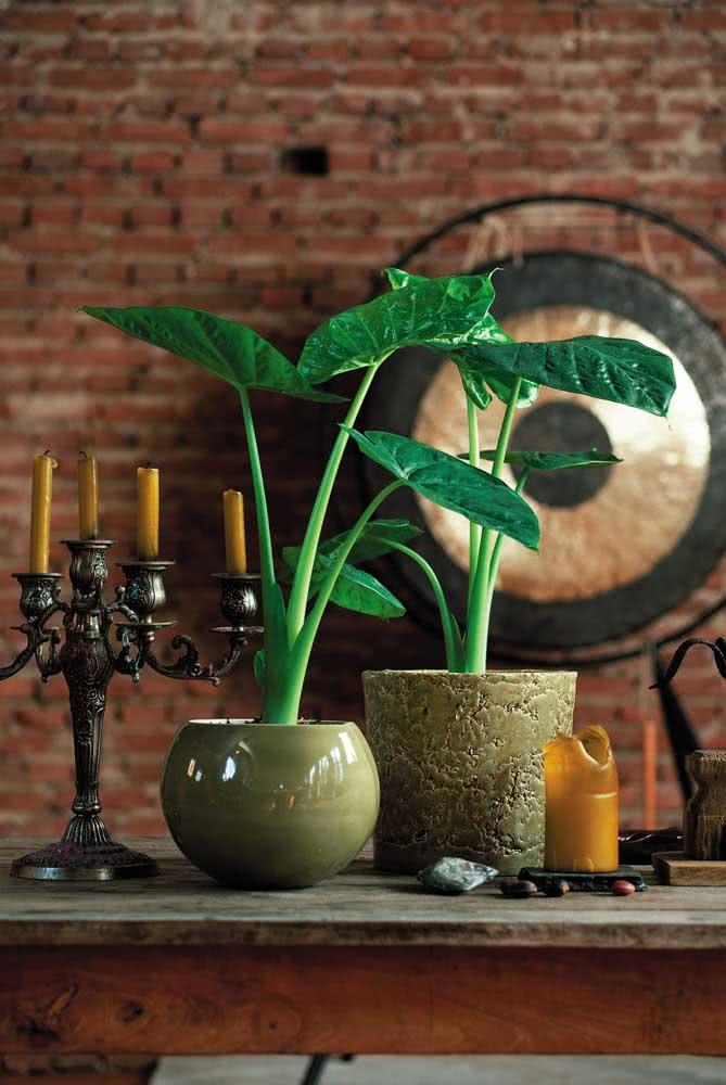Se você prefere tons claros de folhas, escolha a Alocásia Cucullata