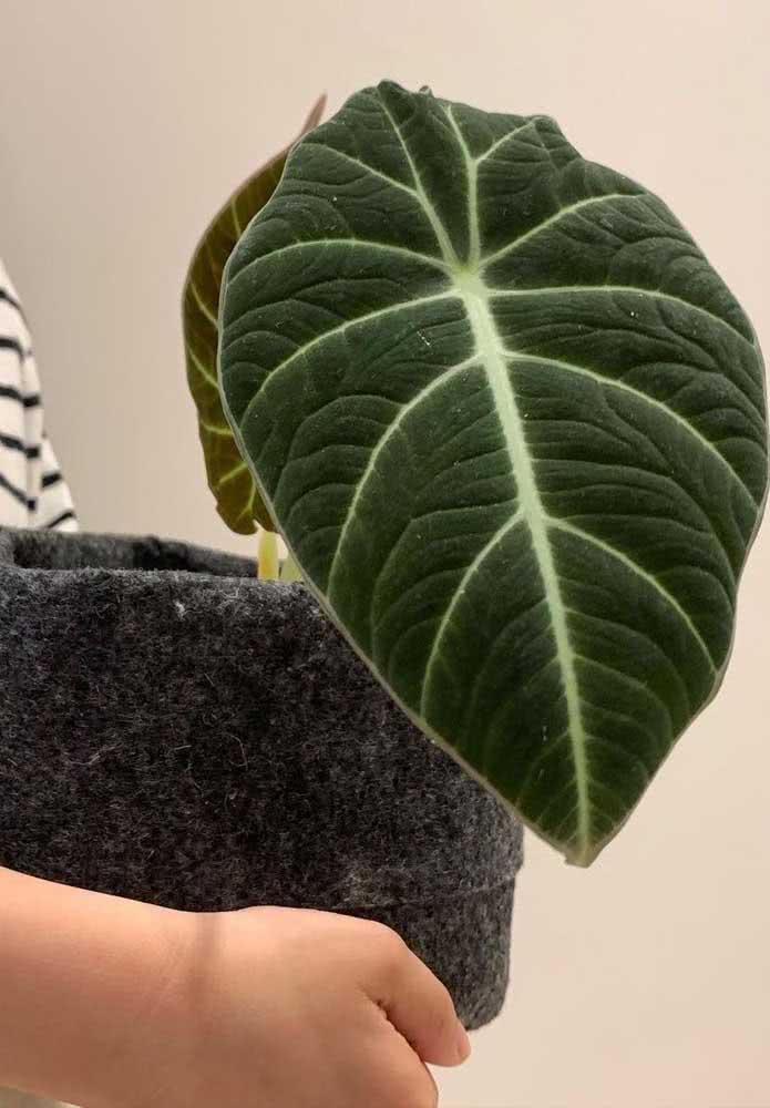 Um luxo as folhas da Alocásia Black Velvet