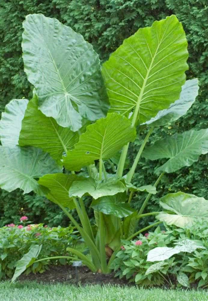 Touceira gigante de Alocásia para o jardim tropical