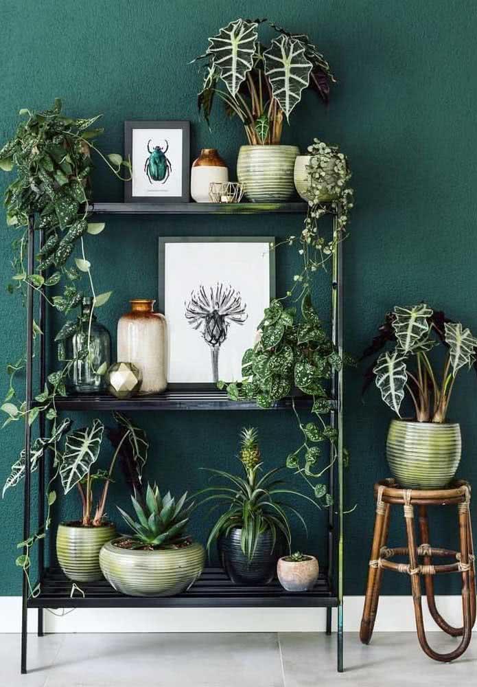 O fundo verde da parede traz ainda mais dramaticidade para as Alocásias no vaso dourado