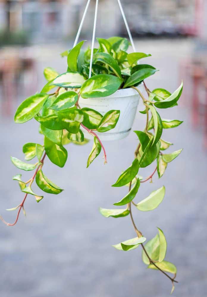 Plantas Pendentes O Que Sao Dicas Tipos E Fotos De Decoracao