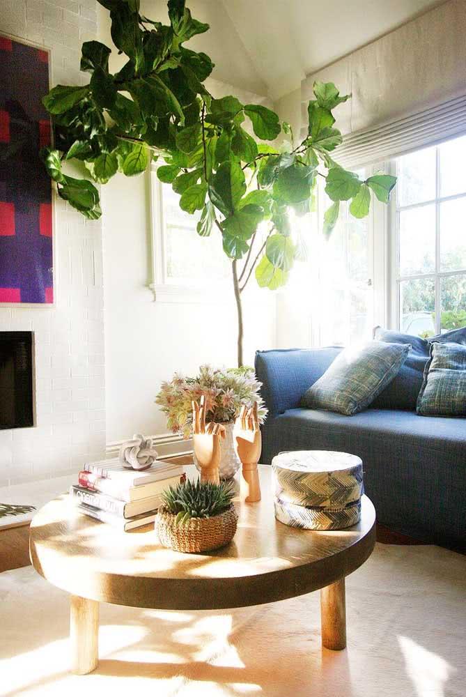 Ficus Lyrata ganhando forma de árvore na decoração da sala de estar