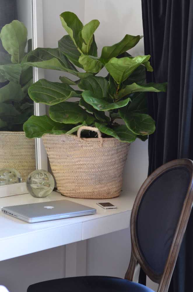 Ficus Bambino para decorar a mesa de trabalho
