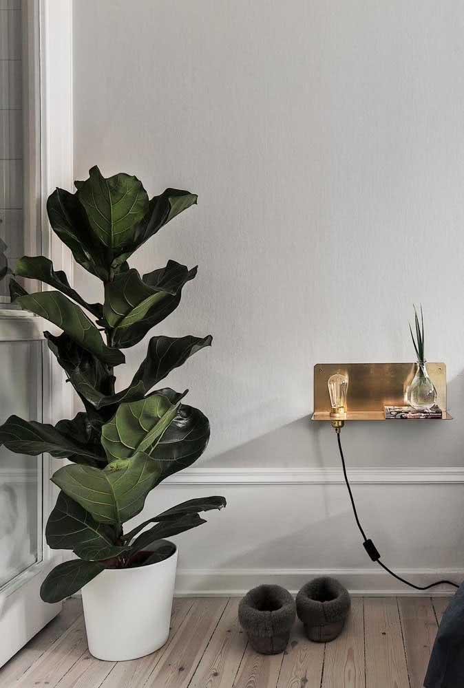 Ficus Bambino para o quarto moderno e minimalista
