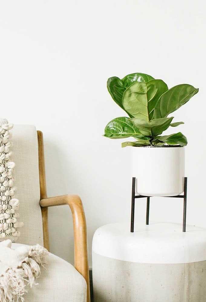 Ficus Bambino: uma versão miniatura perfeita para decorar móveis