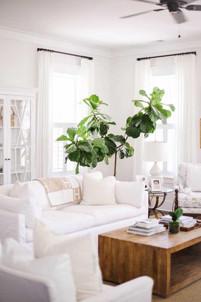A sala está muito branca? Coloque um vaso de Ficus para trazer cor