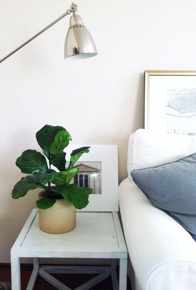 Vaso de Ficus Bambino para adornar a cabeceira da cama