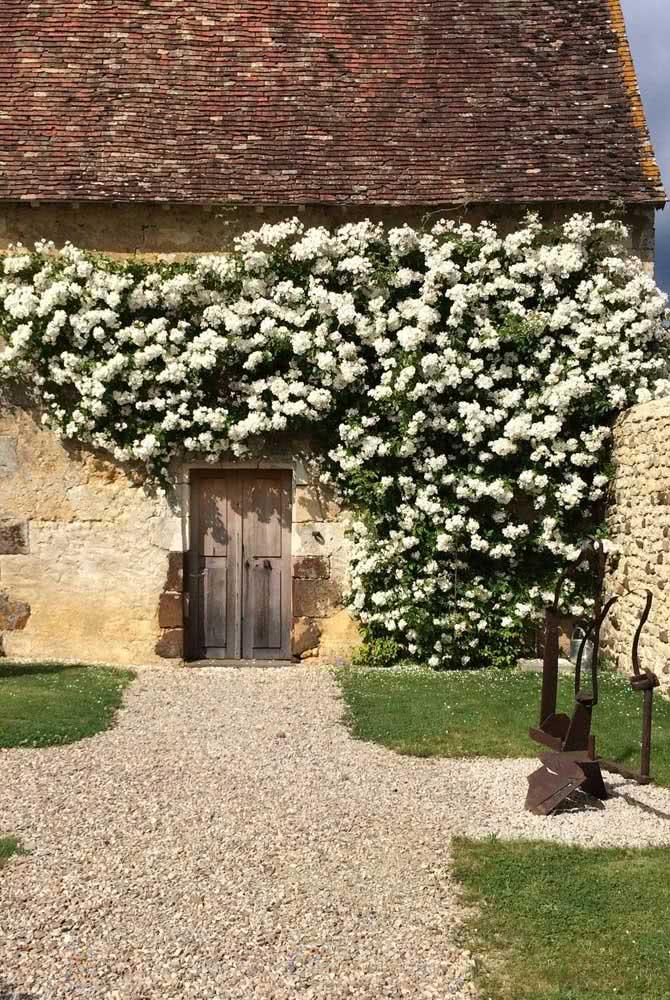 Rosa trepadeira branca garantindo a beleza da fachada rústica