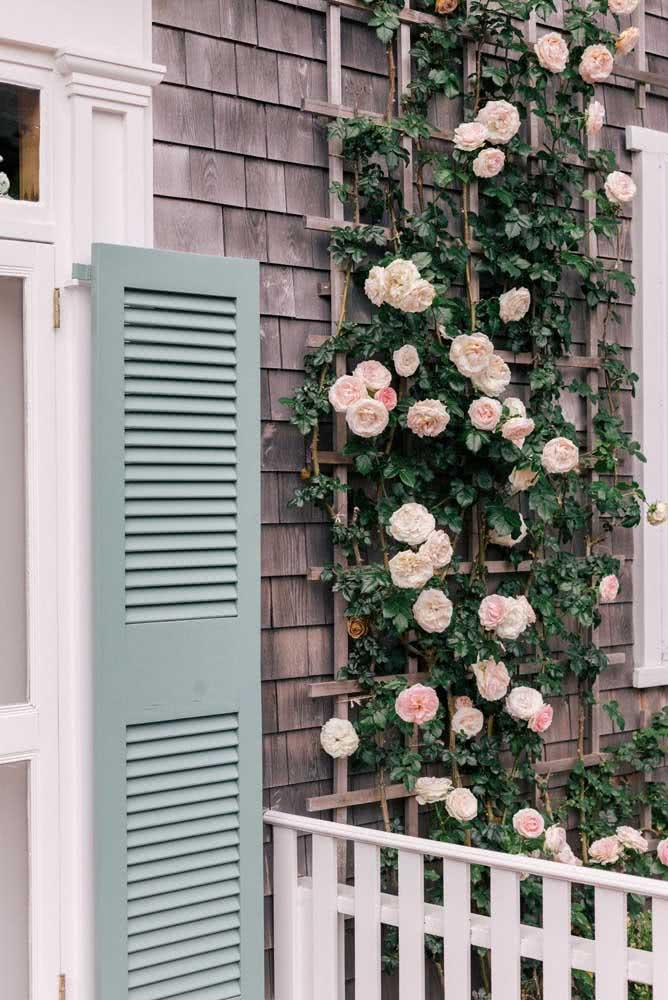 Use uma treliça de madeira para dar sustentação a rosa trepadeira