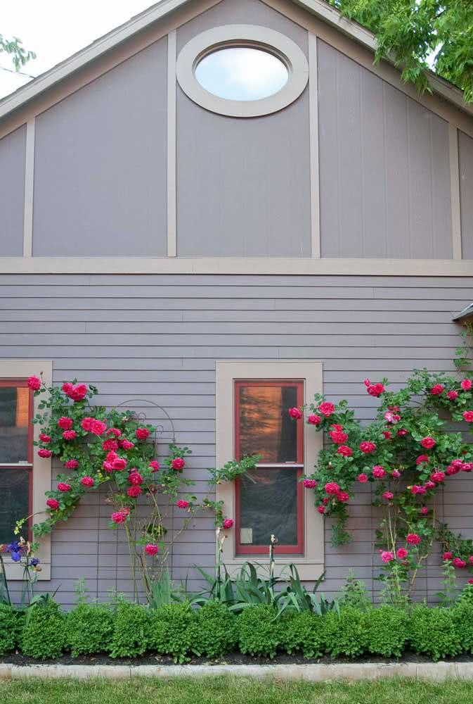 Um lindo contraste entre a rosa trepadeira vermelha e a fachada cinza