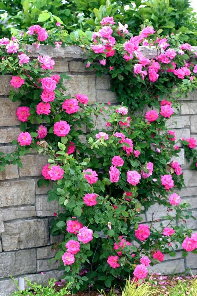 Rosa trepadeira para cobrir o muro da casa