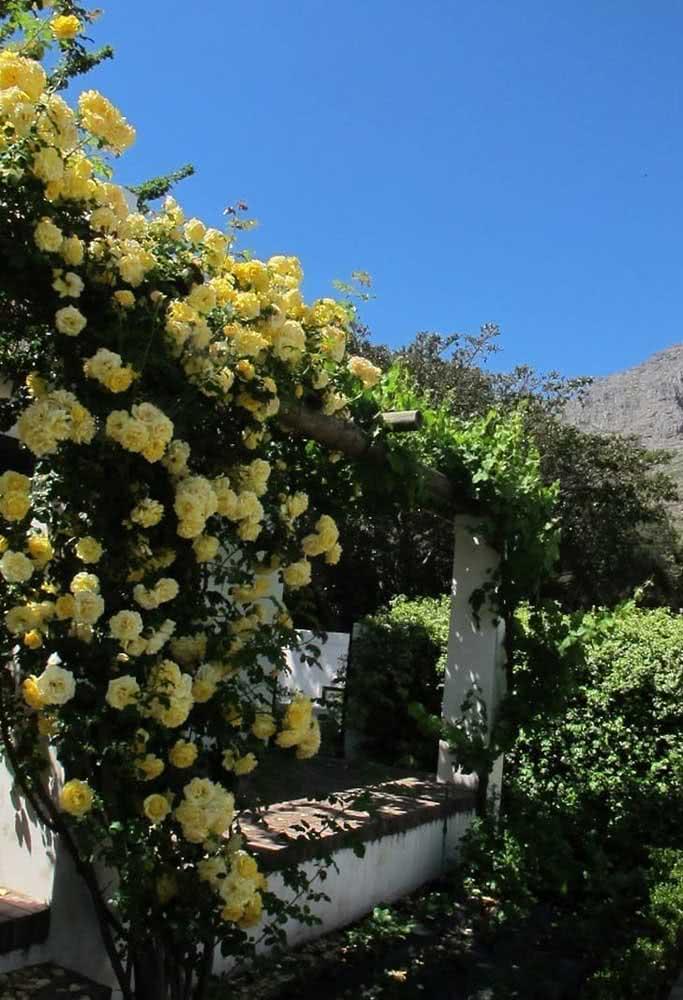 Rosas amarelas da cor do sol