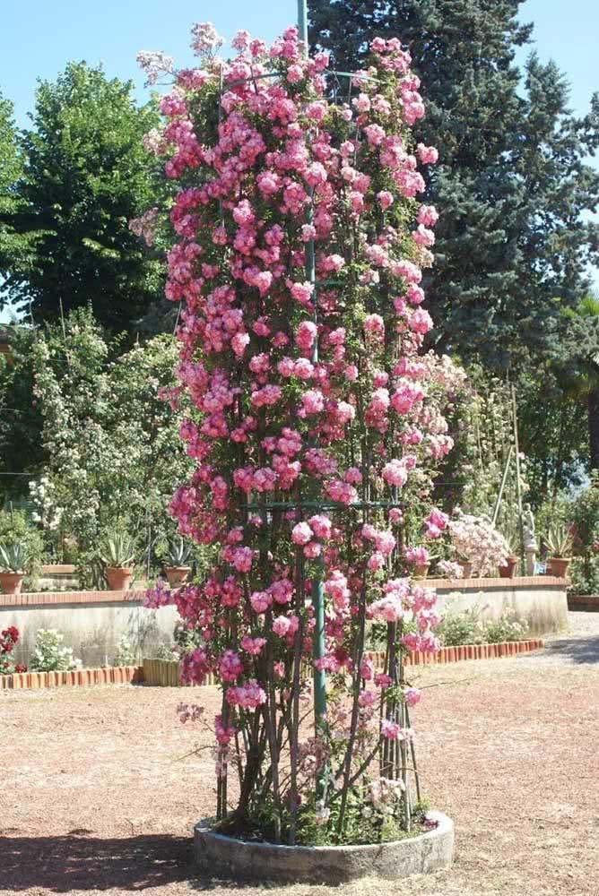Use a criatividade para formar lindas estruturas com a rosa trepadeira
