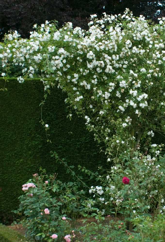 Última oportunidade para você se render a beleza da rosa trepadeira