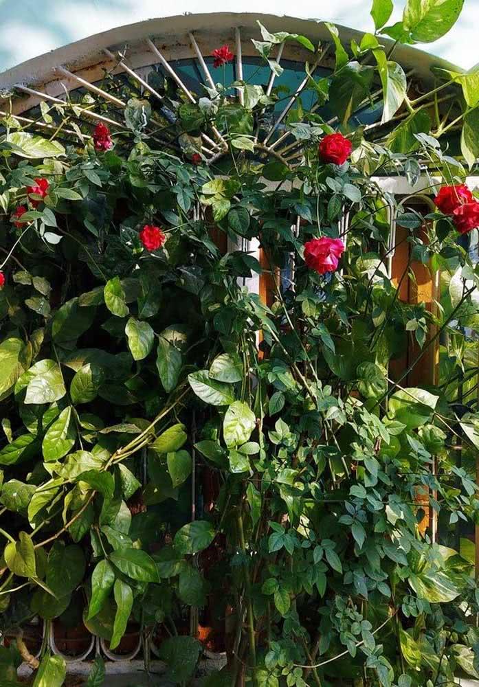 Rosas vermelhas subindo pela janela