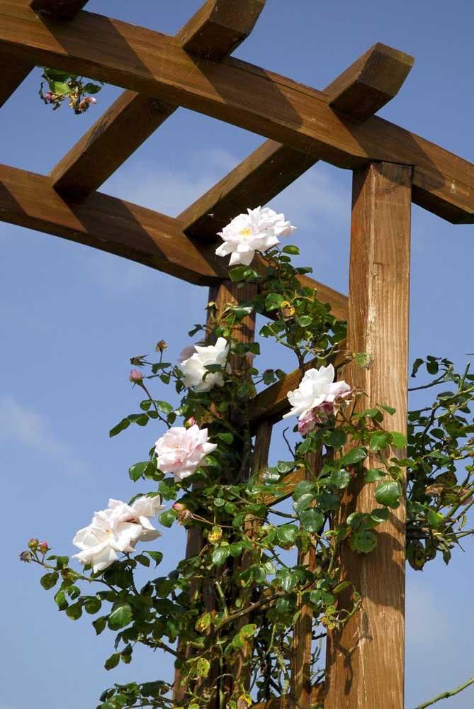 Rosa trepadeira branca para o pergolado