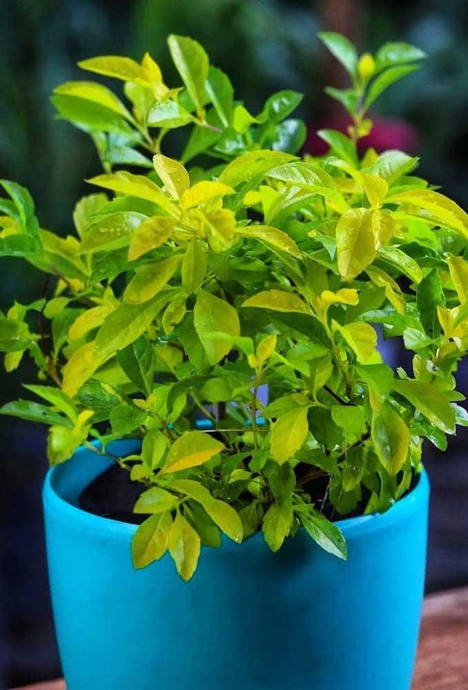Pingo de ouro no vaso: crie destaque na decoração com as folhas douradas da espécie