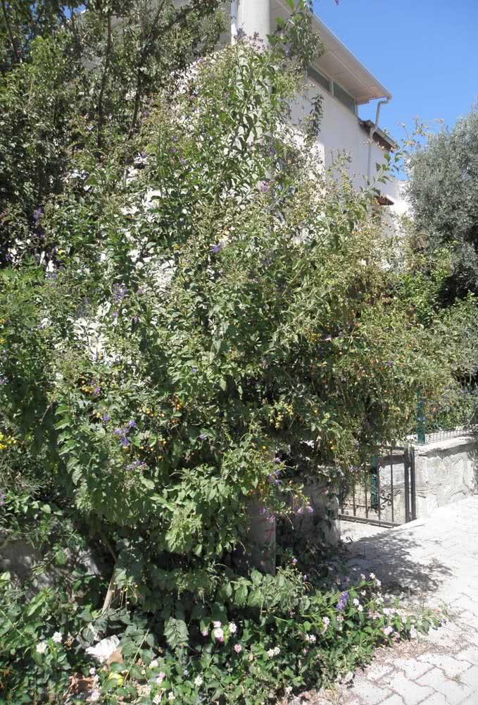 Arbusto de pingo de ouro na calçada atingindo todo seu potencial de crescimento