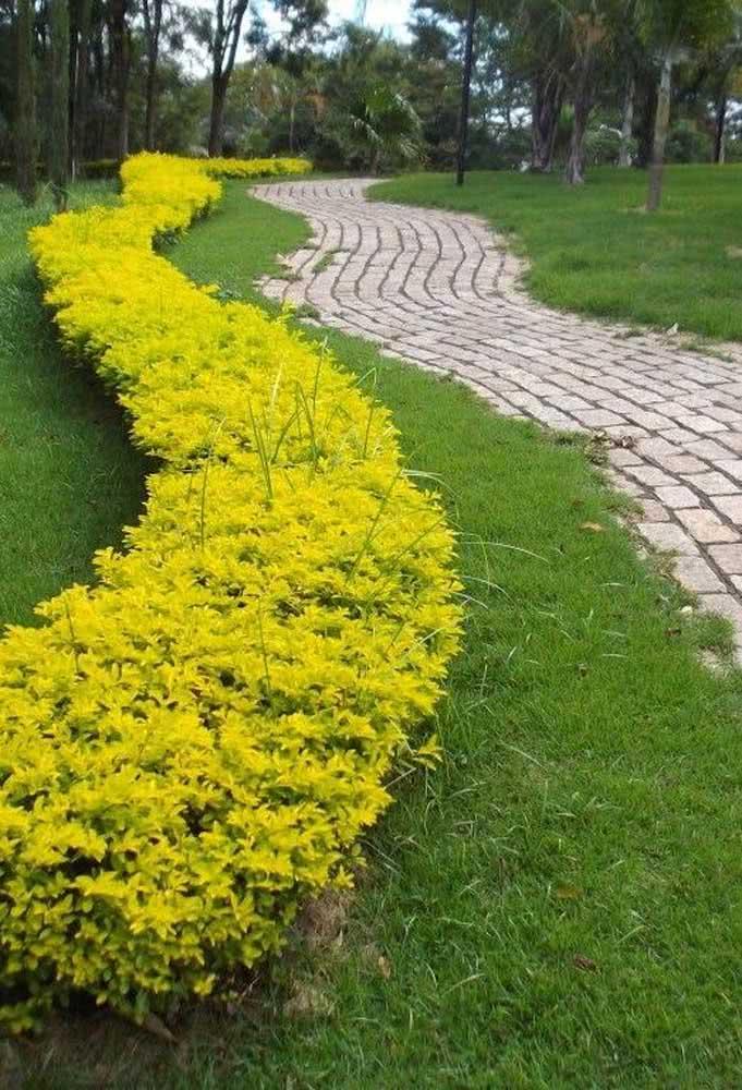Aquele contraste entre o verde da grama e o amarelo do pingo de ouro