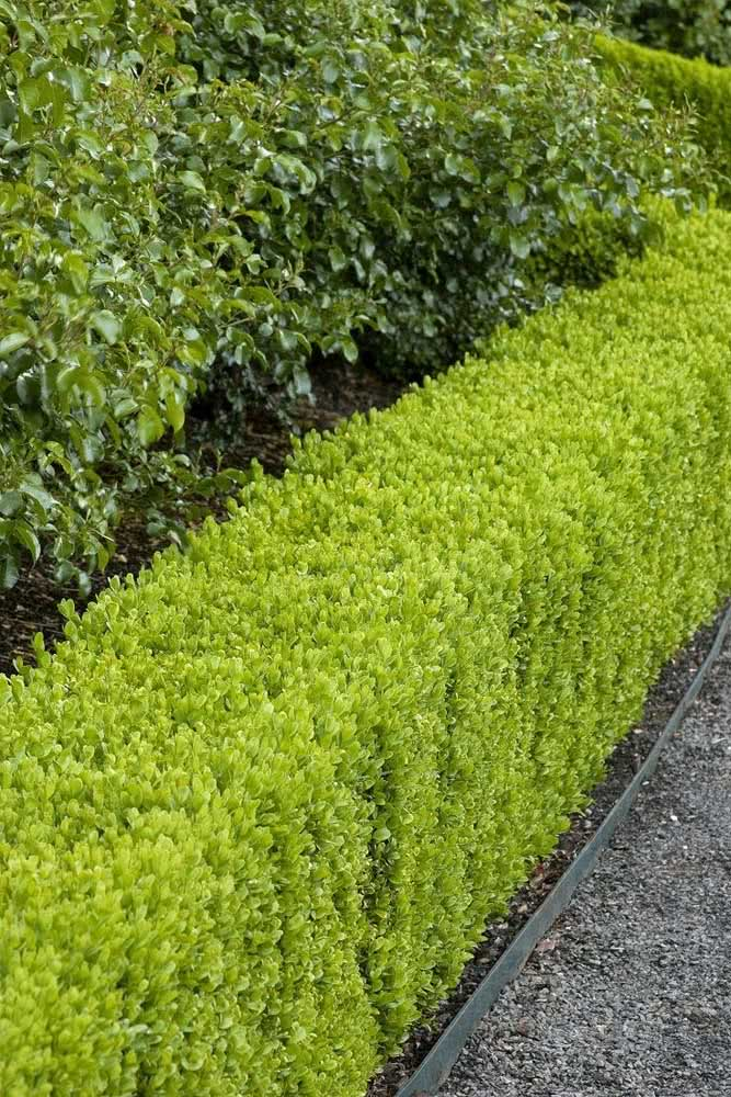 Cerca viva de pingo de ouro para quem procura uma opção de topiaria no jardim