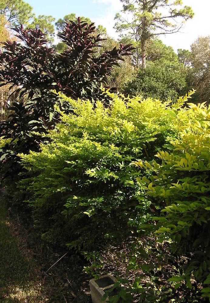 Arbusto de pingo de ouro crescendo livremente na área externa da casa