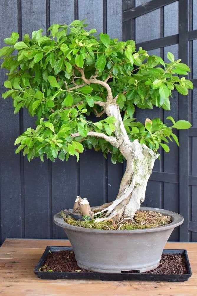 Bonsai pingo de ouro: uma perfeição em miniatura